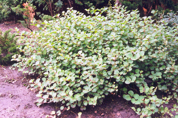 Fleeceflower 1QT | Lurvey Landscape Supply