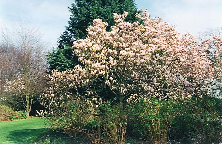 Lilliputian Saucer Magnolia Magnolia X Soulangeana Lilliputian