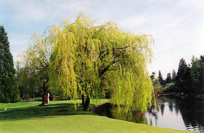 Golden Weeping Willow Salix X Sepulchralis 39 Chrysocoma 39 In Milwaukee Racine Waukesha Green Bay
