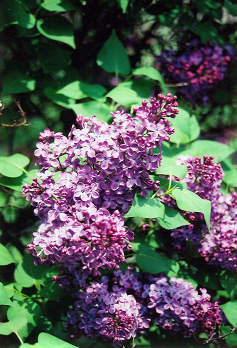 Lilac, \'Asessippi\' 3.0\' | Lurvey Landscape Supply