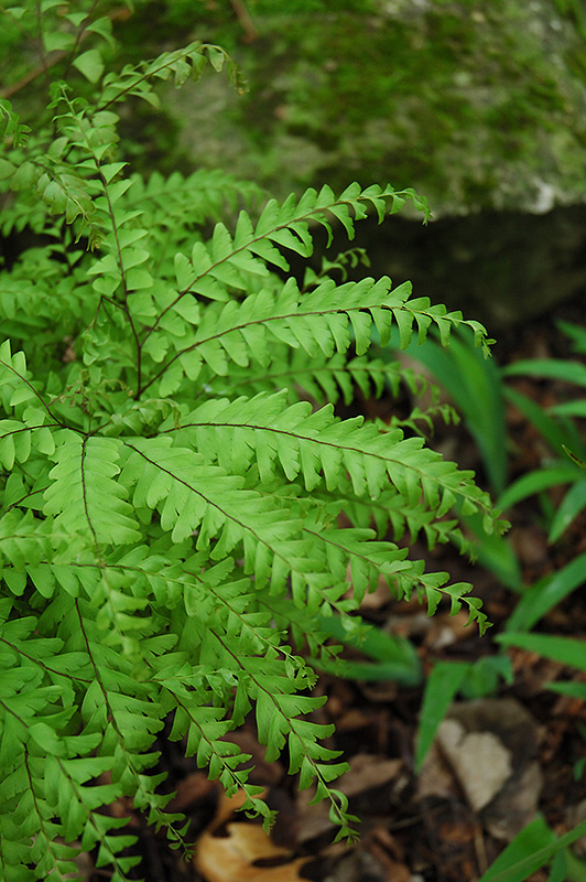Northern Maidenhair Fern (Adiantum pedatum) at Flagg's Garden Center