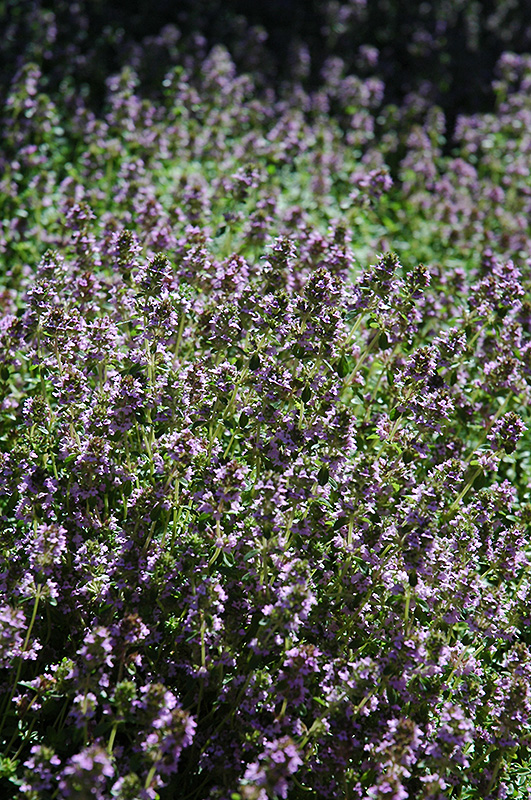 Perennial Ground Cover Full Sun: Lemon Thyme (Thymus X Citriodorus) In Minneapolis St Paul