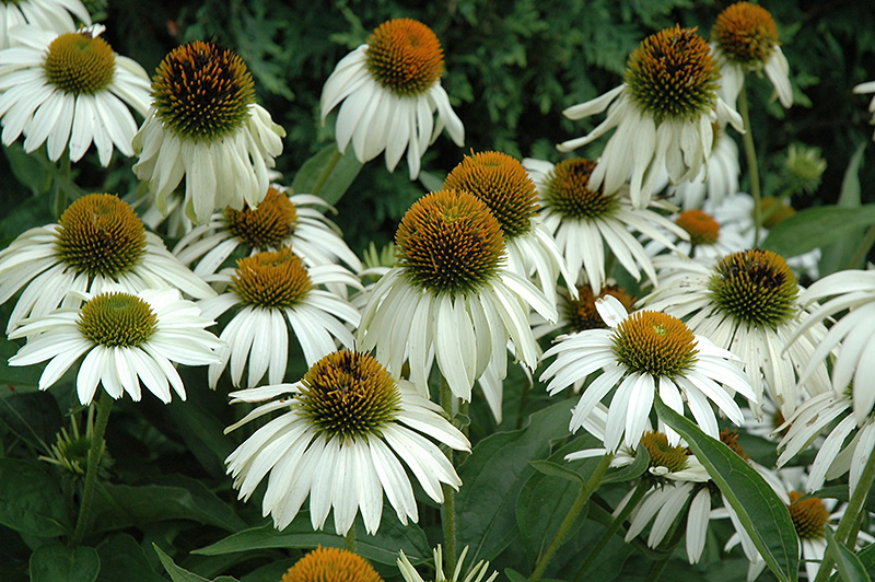 White Swan Coneflower (Echinacea purpurea 'White Swan') at Flagg's Garden Center