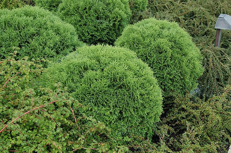 Little Giant Arborvitae (Thuja Occidentalis 'Little Giant