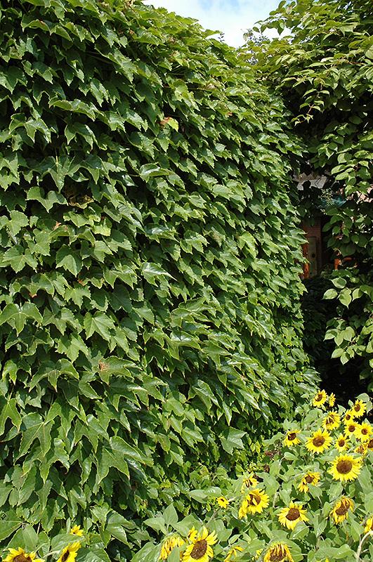 Boston Ivy Parthenocissus Tricuspidata In Lincoln