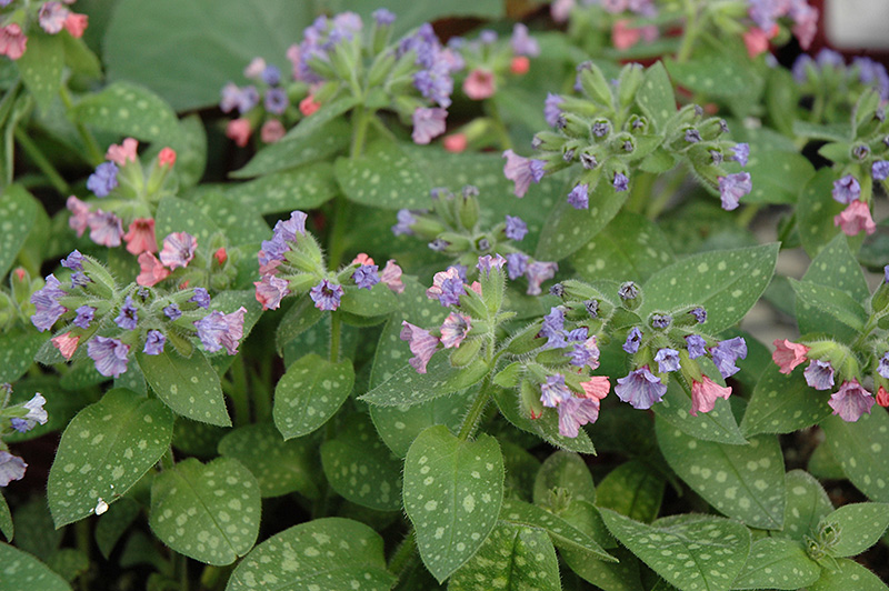 Mrs. Moon Lungwort (Pulmonaria saccharata 'Mrs. Moon') at Flagg's Garden Center