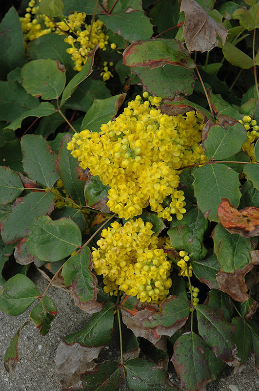 Holly creeping oregon grape lurvey lurvey landscape supply next mightylinksfo