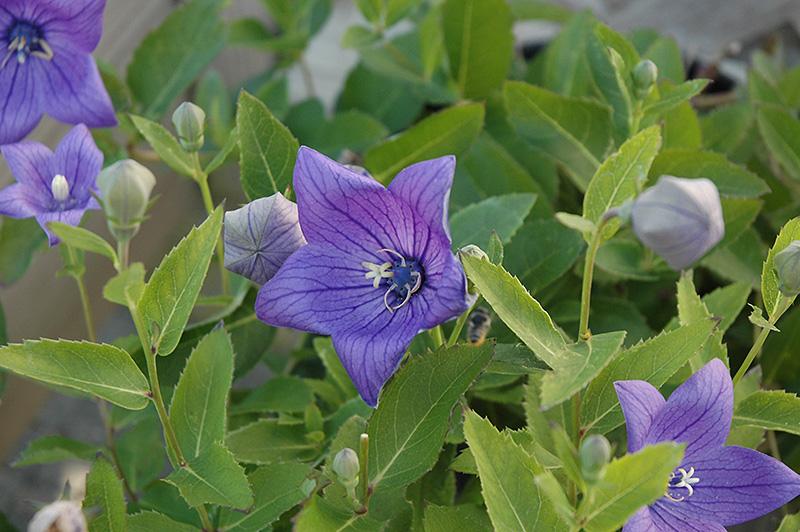 sentimental blue platycodon  platycodon grandiflorus