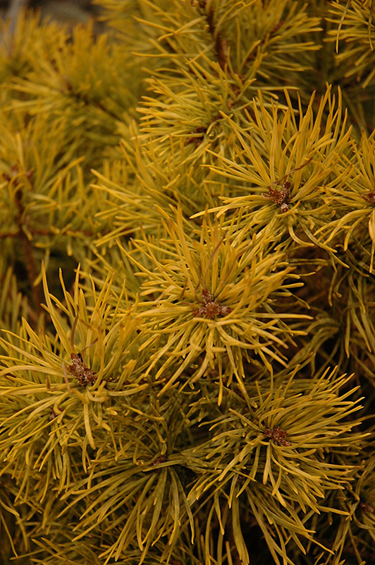 Mature pinus sylvestris gold coin sorry, that