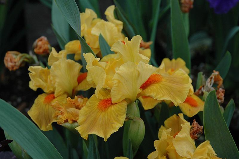 marksman iris iris marksman at steins garden home - Steins Garden