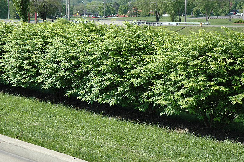 Coles Compact Burning Bush Euonymus alatus Coles Compact in