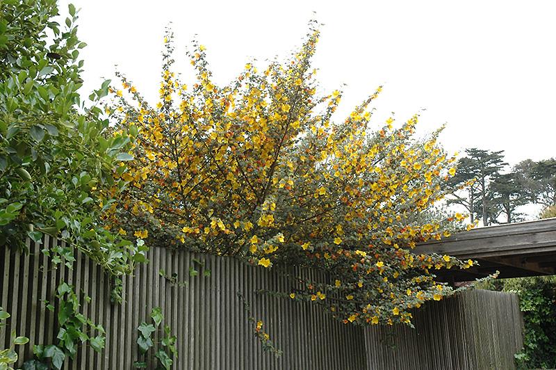 California Glory Fremontodendron (Fremontodendron ...