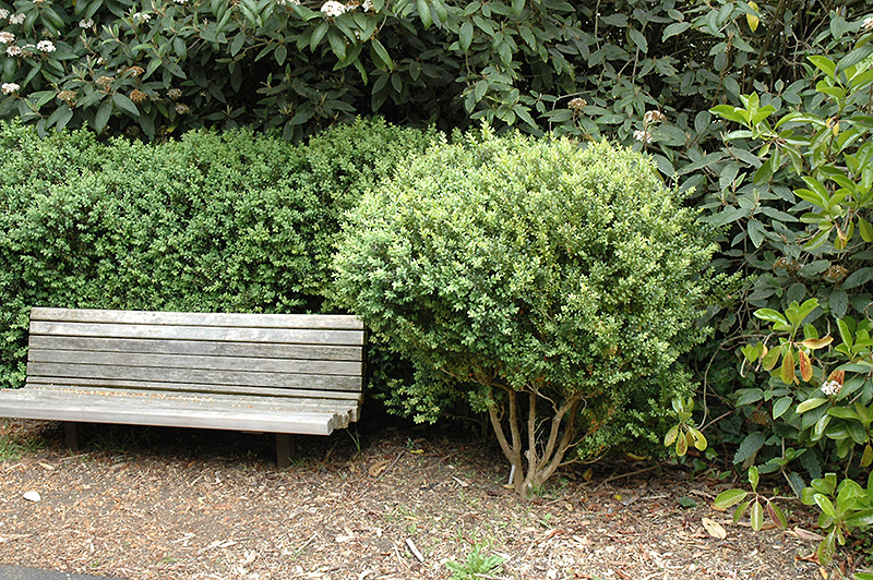 Common Boxwood (Buxus sempervirens) at Flagg's Garden Center