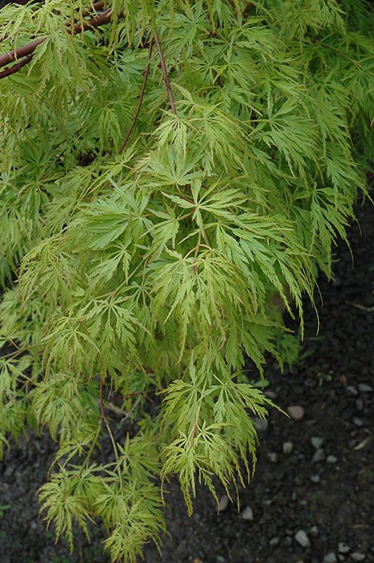 Maple Japanese Seiryu 45 Lurvey Landscape Supply