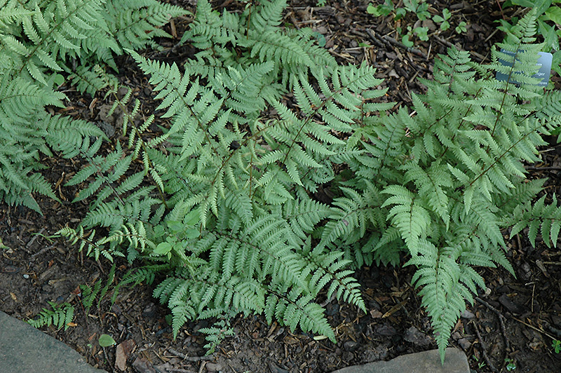 Branford Beauty Fern (Athyrium 'Branford Beauty') at Flagg's Garden Center