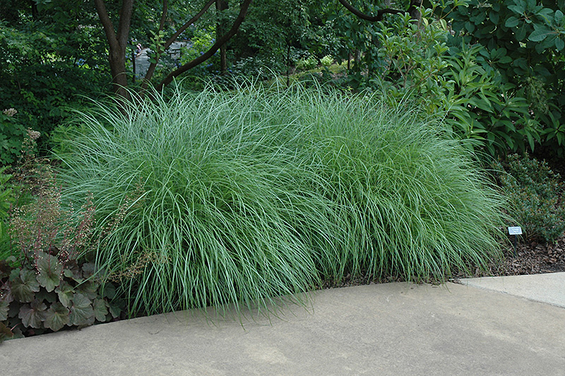 Little kitten dwarf maiden grass miscanthus sinensis for Mounding grass