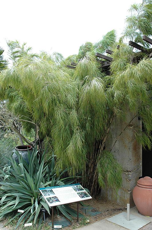 Mexican Weeping Bamboo Otatea Acuminata Aztecorum In