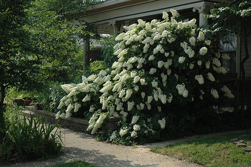 Hydrangea, Oak Leaf 15\