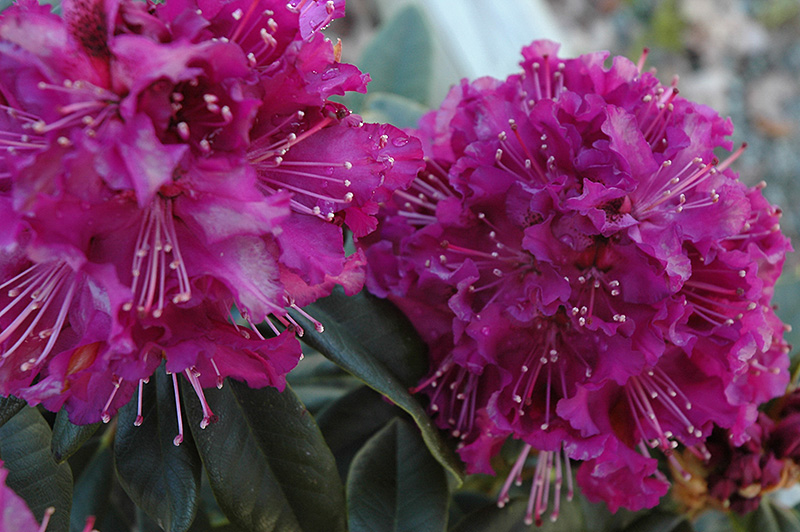 purpureum grandiflorum rhododendron rhododendron. Black Bedroom Furniture Sets. Home Design Ideas