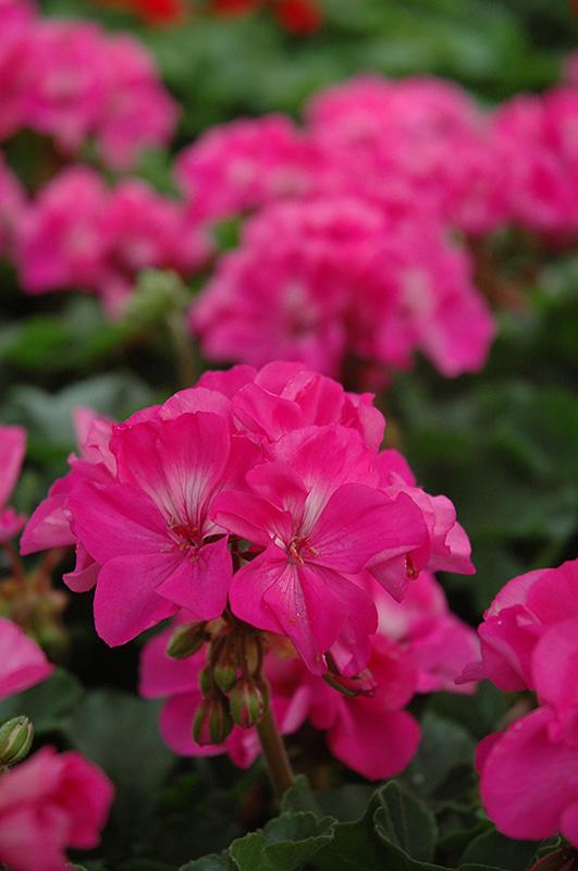 Fantasia shocking pink geranium pelargonium fantasia shocking pink fantasia shocking pink geranium pelargonium fantasia shocking pink at bachmans landscaping mightylinksfo