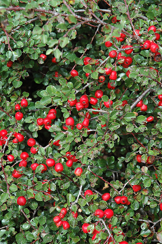 Cranberry Cotoneaster Cotoneaster Apiculatus In
