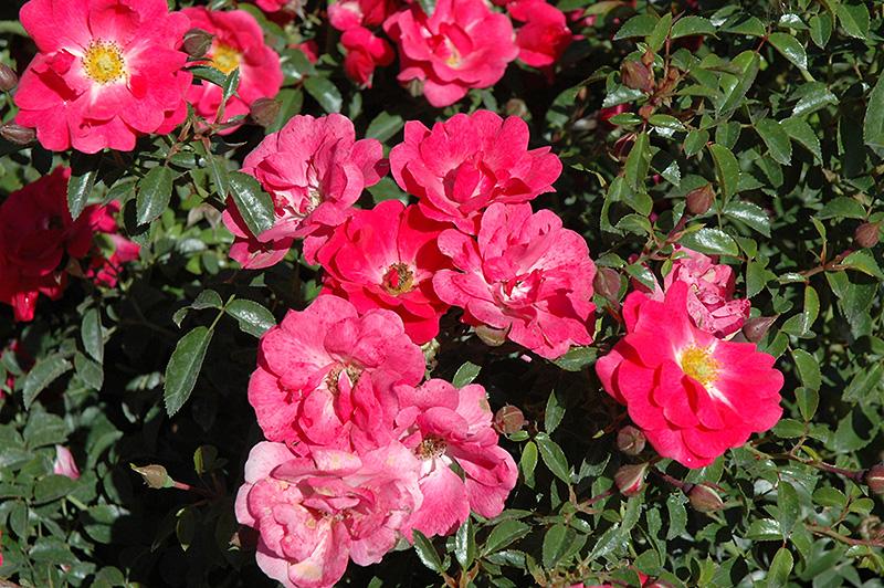 Flower carpet pink supreme rose rosa flower carpet pink supreme flower carpet pink supreme rose rosa flower carpet pink supreme at bachmans mightylinksfo