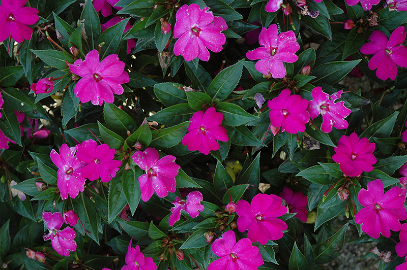 Sun harmony violet new guinea impatiens impatiens 39 sun for New guinea impatiens