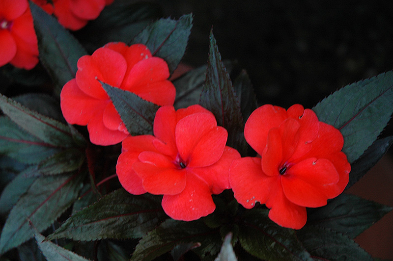 Petticoat salmon night new guinea impatiens impatiens New guinea impatiens