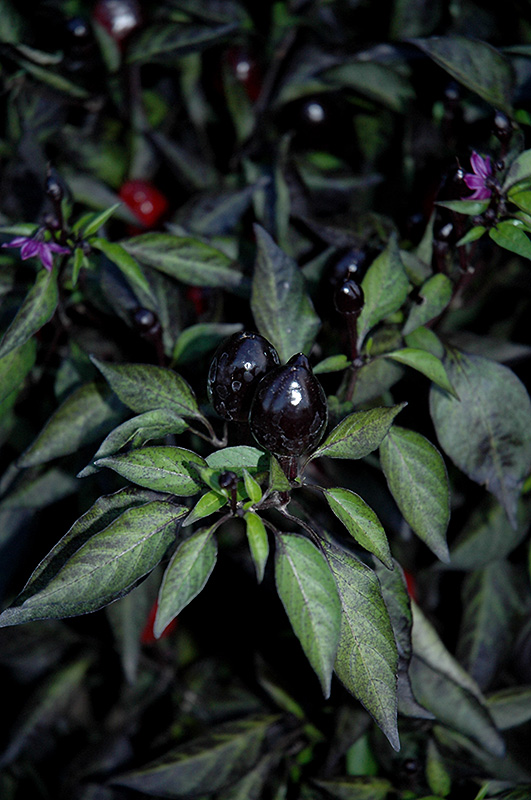black olive ornamental pepper capsicum annuum black