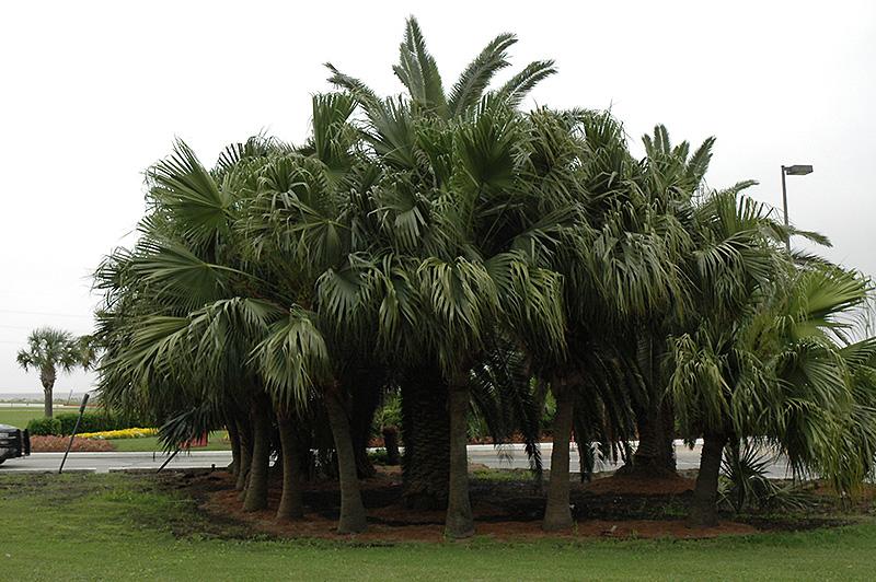 Chinese Fan Palm Livistona Chinensis In Louisville