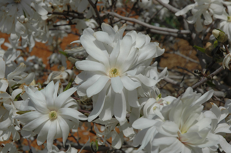 royal star magnolia clump magnolia stellata 39 royal star 39 in minneapolis st paul twin cities. Black Bedroom Furniture Sets. Home Design Ideas
