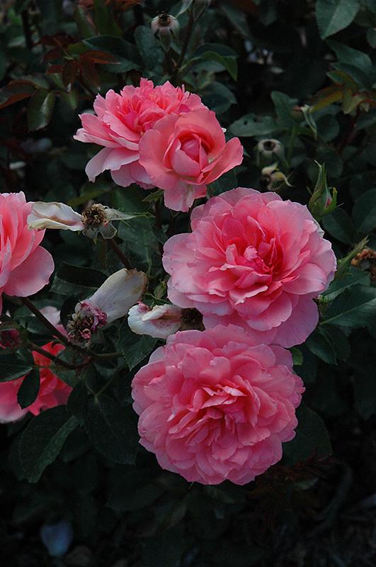 Passionate Kisses Rose Rosa 39