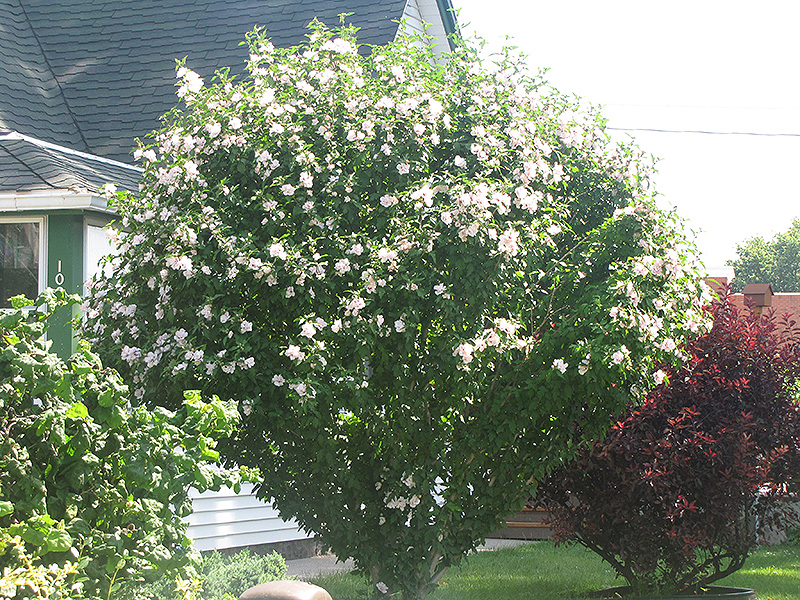 Rose of Sharon, \'Morning Star | Lurvey Landscape Supply