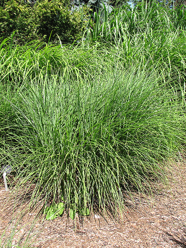 Perennial Grasses For Alberta : Huron sunrise maiden grass miscanthus sinensis