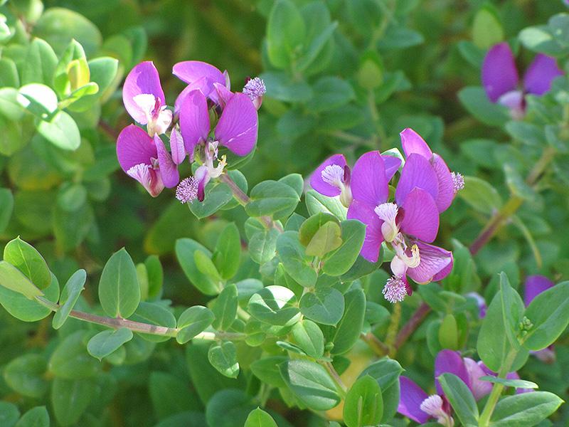 Petite Butterfly Pea Shrub (Polygala myrtifolia \'Mariposa\') in ...