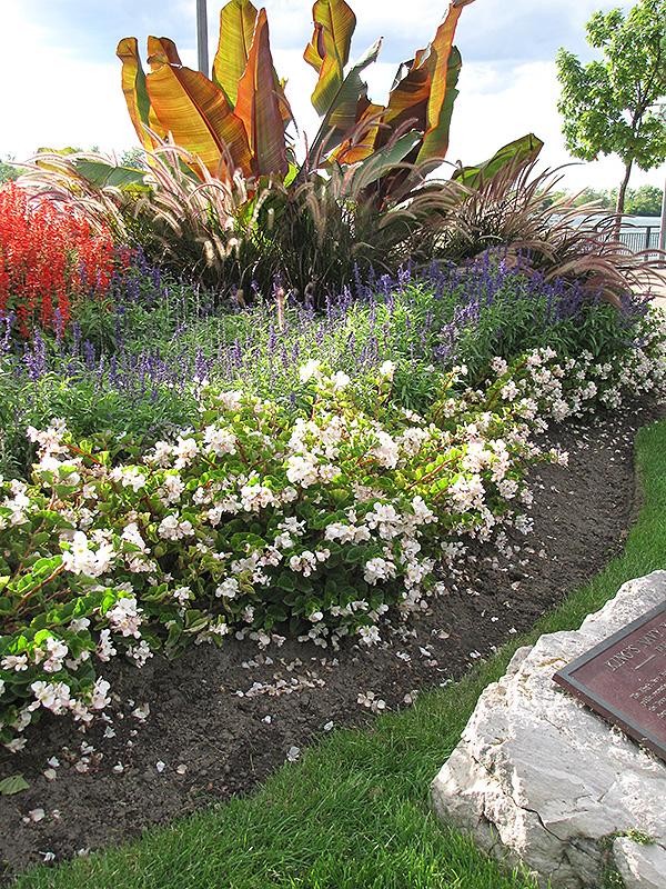 Barbara Rogers Begonia (Begonia U0027Barbara Rogersu0027) At Lakeshore Garden  Centres