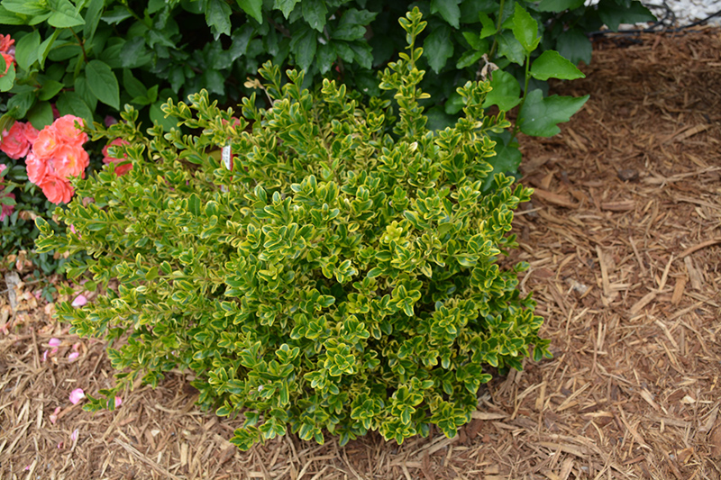 Wedding Ring Boxwood Buxus microphylla Eseles in Moorestown
