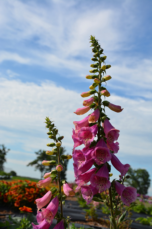 Camelot Rose Foxglove (Digitalis purpurea 'Camelot Rose') at Flagg's Garden Center