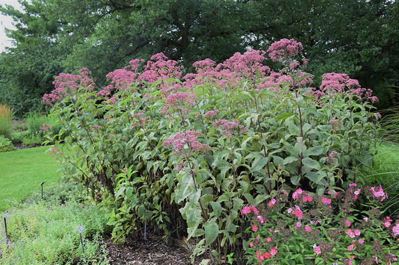 Gateway Joe Pye Weed (Eupatorium maculatum 'Gateway') at Flagg's Garden Center