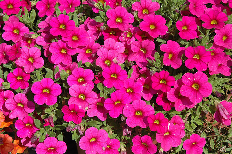 million bells brilliant pink calibrachoa calibrachoa 39 million bells brilliant pink 39 in. Black Bedroom Furniture Sets. Home Design Ideas