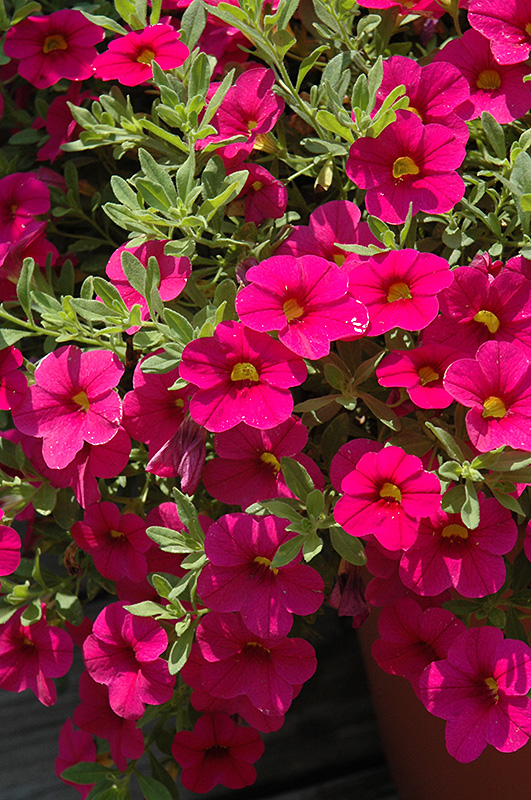 million bells bouquet brilliant pink calibrachoa calibrachoa 39 million bells bouquet brilliant. Black Bedroom Furniture Sets. Home Design Ideas