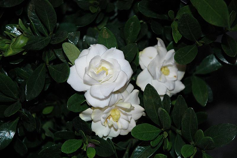 Double Mint Gardenia Gardenia Jasminoides Double Mint