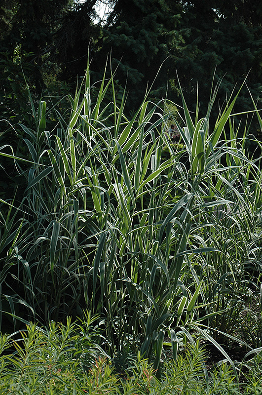 Peppermint stick giant reed grass arundo donax for Giant ornamental grass