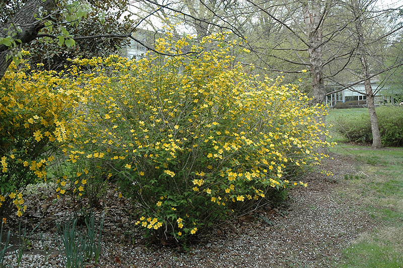 Shannon japanese kerria kerria japonica 39 shannon 39 in for Kerria japonica