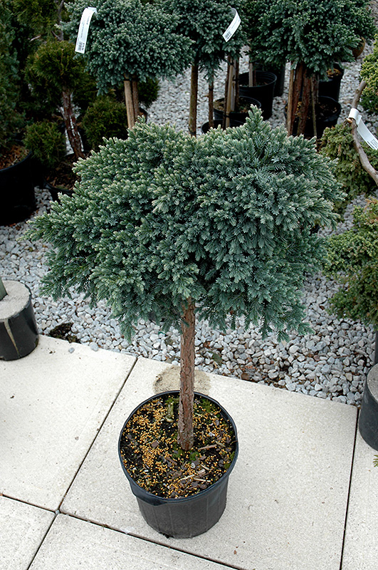 To View Full size Photo Of Blue Star Juniper Juniperus Squamata Blue