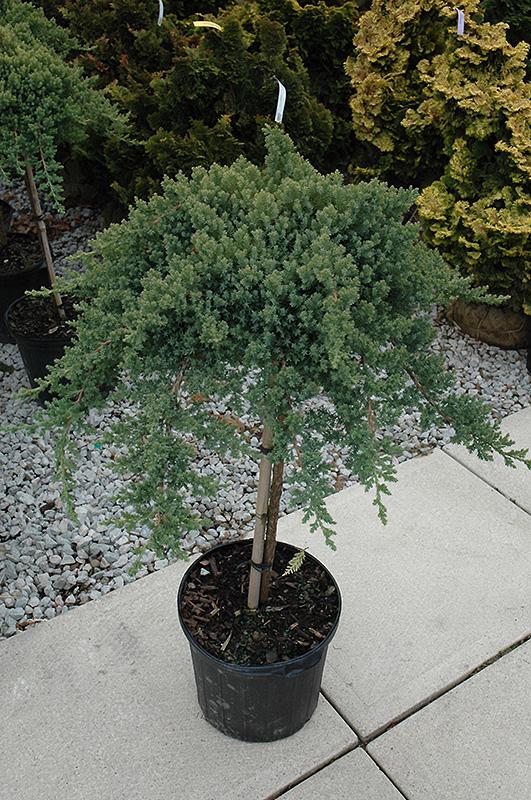 Dwarf Japanese Garden Juniper (tree Form) (Juniperus