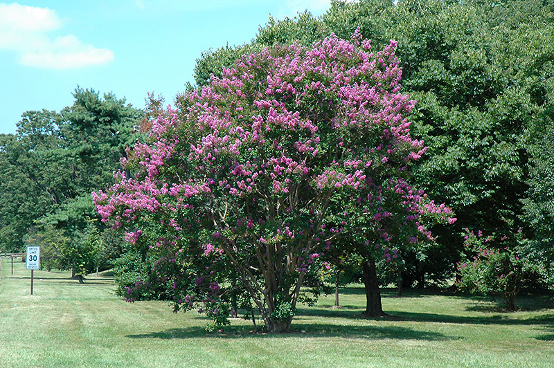 Catawba Crapemyrtle (Lagerstroemia indica \'Catawba\') in Moorestown ...