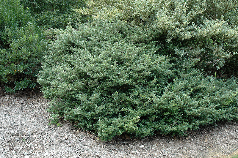 stokes japanese holly ilex crenata 39 stokes 39 in lincoln. Black Bedroom Furniture Sets. Home Design Ideas