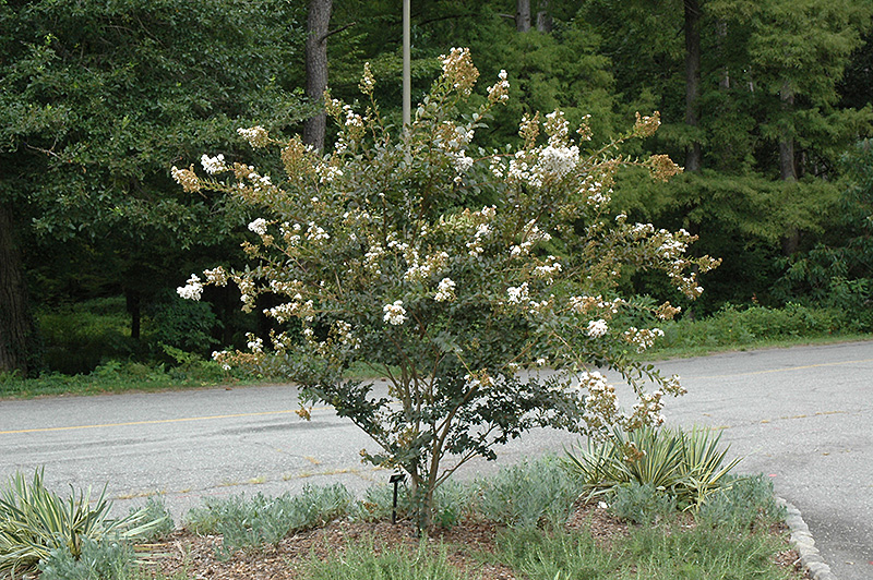 White Chocolate Crapemyrtle Lagerstroemia Indica White