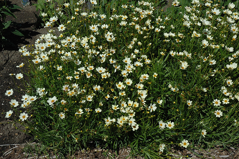 Star Cluster Tickseed (Coreopsis \'Star Cluster\') in Moorestown ...
